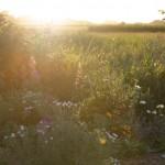 Abendsonne im Garten I